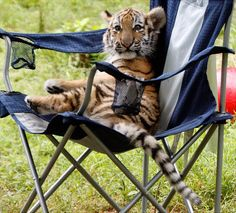A three-month-old Amur tiger cub takes a load off at the Pittsburgh Zoo in August.