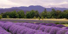 Sequim WA Lavender Festival July