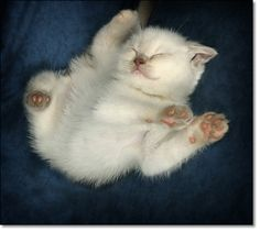 : British Shorthair kitten