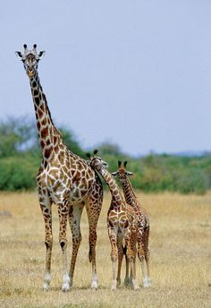Mom giraffe and calves