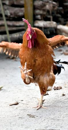 Kung Pao Chickens are not to be messed with...