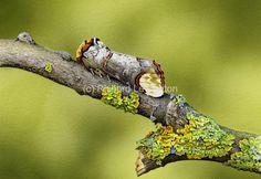 Buff Tip - Richard Lewington Wildlife Art, Butterflies, Design Inspiration, Nature, Animals, Beautiful, Animales, Animaux, Butterfly