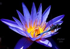 Dragonfly on Waterlilly by Julie Everhart on 500px