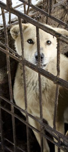 Voiceless Friends - An Undercover Investigation by Animal Equality and Last Chance for Animals « Investigations