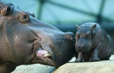 I LOOOOOVE hippos! I have no idea where this obsession with them came from, but I adore them. :) Those little flickering ears get me every time.