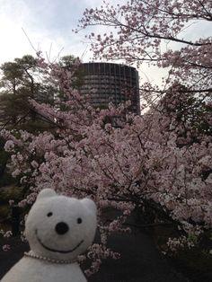 クマ散歩:国立劇場さくらまつりに品行方正なクマ出没4 The Bear went to National Theatre of Japan Cherry Blossom Festival!♪☆(^O^)/  #品行方正 #さくらまつり