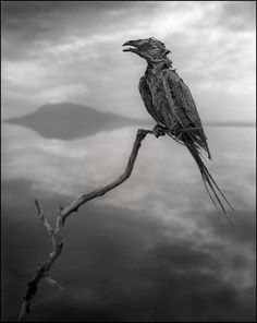 "<span>Nick Brandt · Calcified Songbird · 2010</span><p><a href=""mailto:sales@camerawork.de?Subject=Anfrage zum Werk »Calcified Songbird«…"