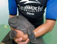 If this baby manatee doesn't make you smile or cry, you have no heart.