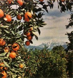 70s Aesthetic, Aesthetic Vintage, Beautiful Family, Beautiful Pictures, Blossom Perfume, Orange Grove, Orange Farm, Forever Green, Mother Earth