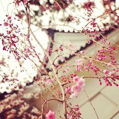 紅枝垂れ #小田原城 - @momokonakajima- #webstagram