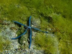 A study has shown for the first time that starfish use primitive eyes at the tip of their arms to visually navigate their environment. - Photo credit: lowjumpingfrog - http://earthsky.org/science-wire/starfish-have-eyes-at-the-tips-of-their-arms?utm_source=EarthSky+News_campaign=5d7b00b820-EarthSky_News_medium=email_term=0_c643945d79-5d7b00b820-393623081