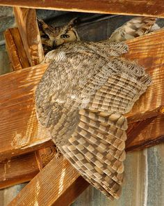 Great Horned Owl on her nest. Absolutely beautiful!