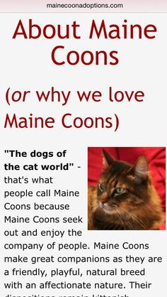 Read all about MaineCoon cats and why we love them!  mainecoonadoptions.com/aboutmainecoons.shtml
