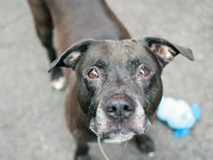 SUPER URGENT 3/12/14 Manhattan Center   EIGHT BALL - A0927001 *** RETURNED ON 3/12/14 ***  MALE, CHOCOLATE / WHITE, PIT BULL MIX, 12 yrs OWNER SUR - EVALUATE, NO HOLD Reason DESTRUCTIV  Intake condition GERIATRIC Intake Date 03/12/2014, From NY 10453, DueOut Date 03/12/2014, https://www.facebook.com/photo.php?fbid=772299106116304&set=a.617942388218644.1073741870.152876678058553&type=3&theater