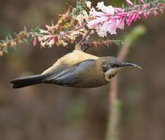 Eastern Spinebill     The Eastern Spinebill (Acanthorhynchus tenuirostris, female shown here) is a species of honeyeater found in south-eastern Australia. It feeds on nectar from many plants, as well as small insects and other invertebrates. It is around 15 cm (5.9 in) long, and has a distinctive black, white and chestnut plumage, a red eye, and a long downcurved bill.