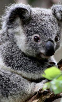 Baby Koala!!
