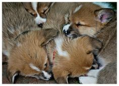 pile o' corgi puppies