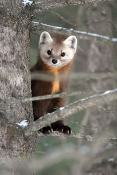 Baby Scottish Pine Marten