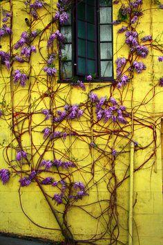 Climbing purple flowers on yellow wall.