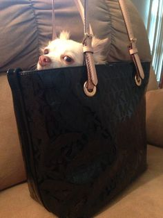 Chihuahua in a Michael Kors bag!