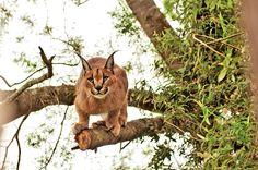 bigcatwildcat:  Photo: Meshell Oh   Desert Lynx