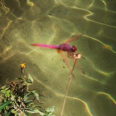 Fucsia and Red Dragonfly