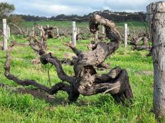 150 year-old Shiraz vines, Henschke Hill of Grace, Australia.