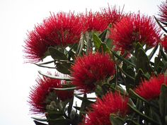 Pohutukawa (New Zealand Christmas Tree) Narrowneck Beach, Castor Bay, Auckland. Access via steps down the cliffside. Steep steps. LOTS of steps! | by christineNZ2014 https://www.flickr.com/photos/cat_haven/albums/72157654614152732