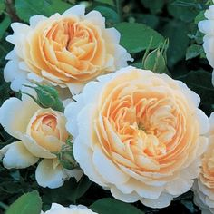 Crocus Rose - David Austin Roses.  This is a very robust and free flowering rose, bearing large, rosette-shaped flowers that are cupped at first; the petals later reflexing. The colour is soft apricot, paling to cream on the outer petals. The flowers are produced very freely, in large clusters elegantly poised on the end of slightly arching stems. They have a delightful Tea Rose fragrance.