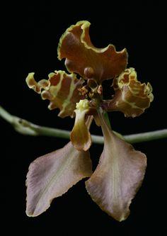 Cyrtochilum trifurcatum