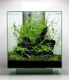 Fluval Edge aquascape by Oliver Knott