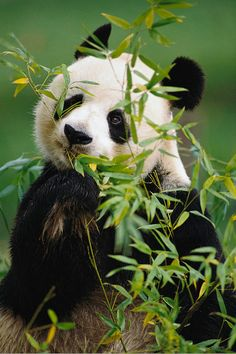 Animal Kingdom, wolverxne: Giant Panda Eating Bamboo - by: Gerry...