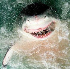 #sharks #whiteshark #requin