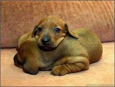 Two Dachshund puppies snuggled up together. Mini Dachshund, Dachshund Puppies, Weenie Dogs, Cute Puppies, Cute Dogs, Dogs And Puppies, Daschund, Doggies, Dapple Dachshund