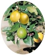 Dwarf Citrus Trees   4 or more for $20.00 each