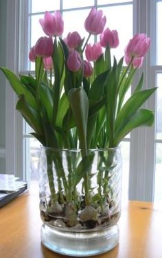 """Tulips Grown in a Glass Vase: """"Tulips to be"""" in a wide glass vase, with a dozen or so bare tulip bulbs in the bottom.  There is a little """"grate"""" in the bottom of the vase. You simply put water in the bottom, & the bulbs sprout roots, which anchor themselves through the grate, then come leaves, then, in about 3 or 4 weeks, you have flowers!"""