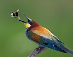 Bee-eaters could come to the UK because of climate change.