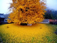#Ginkgo tree sheds its #leaves in autumn, 1400 years old stands out in a spectacular golden foliage
