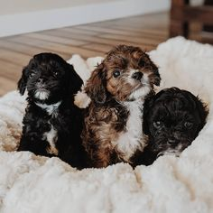 Cavapoo: What To Know About This Stunning Family Dog Cavapoo Puppies, Cute Puppies, Cute Dogs, Funny Dog Pictures, Puppy Pictures, Puppy Images, The Perfect Dog, Dog Facts, Therapy Dogs