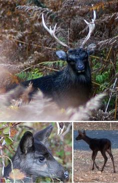 Melanism makes the most beautiful animals!