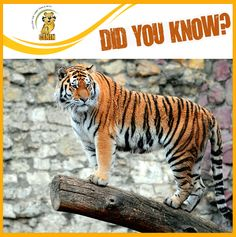 Did you know ?  Tiger's legs are so powerful that they can remain standing when dead. Tigers have been known to have been shot, bleed out, and die, all while standing up. Isn't that amazing?
