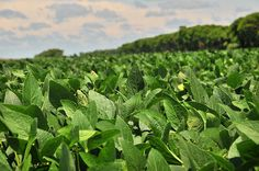 THE BRAINY BEAUT: FACTSHEET | HUIDVERZORGING | SOJA - Glysine Soja Bean Oil
