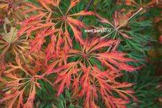 Acer japonicum 'Green Cascade' #fallcolorRed #leafcolorGreen #veryhardy #windresistant? #sunresistant? #shrubsborder 150cm