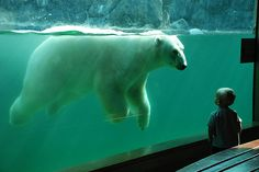 a look of hope?  this photo somewhat saddens me as polar bears are going extinct...