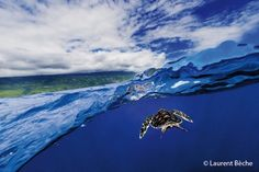 Sea turtle, Reunion Island , photographed by Laurent Beche.