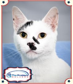 Meet Kitten a 3-year-old cat up for adoption at the Humane Society of Greater Dayton. Every time his photo is repinned The Problems Solvers will donate a dollar to the Humane Society. #cat #animals