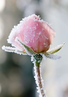 snowy rose...beautiful in - PINK - ( BIG Picture )