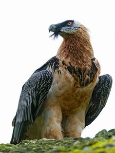 Bearded vulture or Lammergeier. Unlike most vultures, the Bearded Vulture does not have a bald head. This huge bird is 95–125 cm long with a wingspan of 275–308 cm. It may rub mud over its chin, breast and leg feathers, giving these buffed-white areas a rust-coloured appearance..