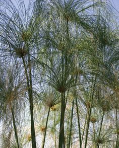 egyptian papyrus pictures  | ... Winners | Egyptian Papyrus - Giant Umbrella Plant - Cyperus papyrus