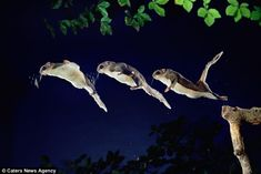 British photographer Kim Taylor captured the spectacular southern flying squirrel on camera as it glides through the trees. Kim Taylor, Japanese Dwarf Flying Squirrel, Animal Pictures, Cool Pictures, Tree Trunks, Wild Ones, Image Shows, Hd Photos, Night Skies